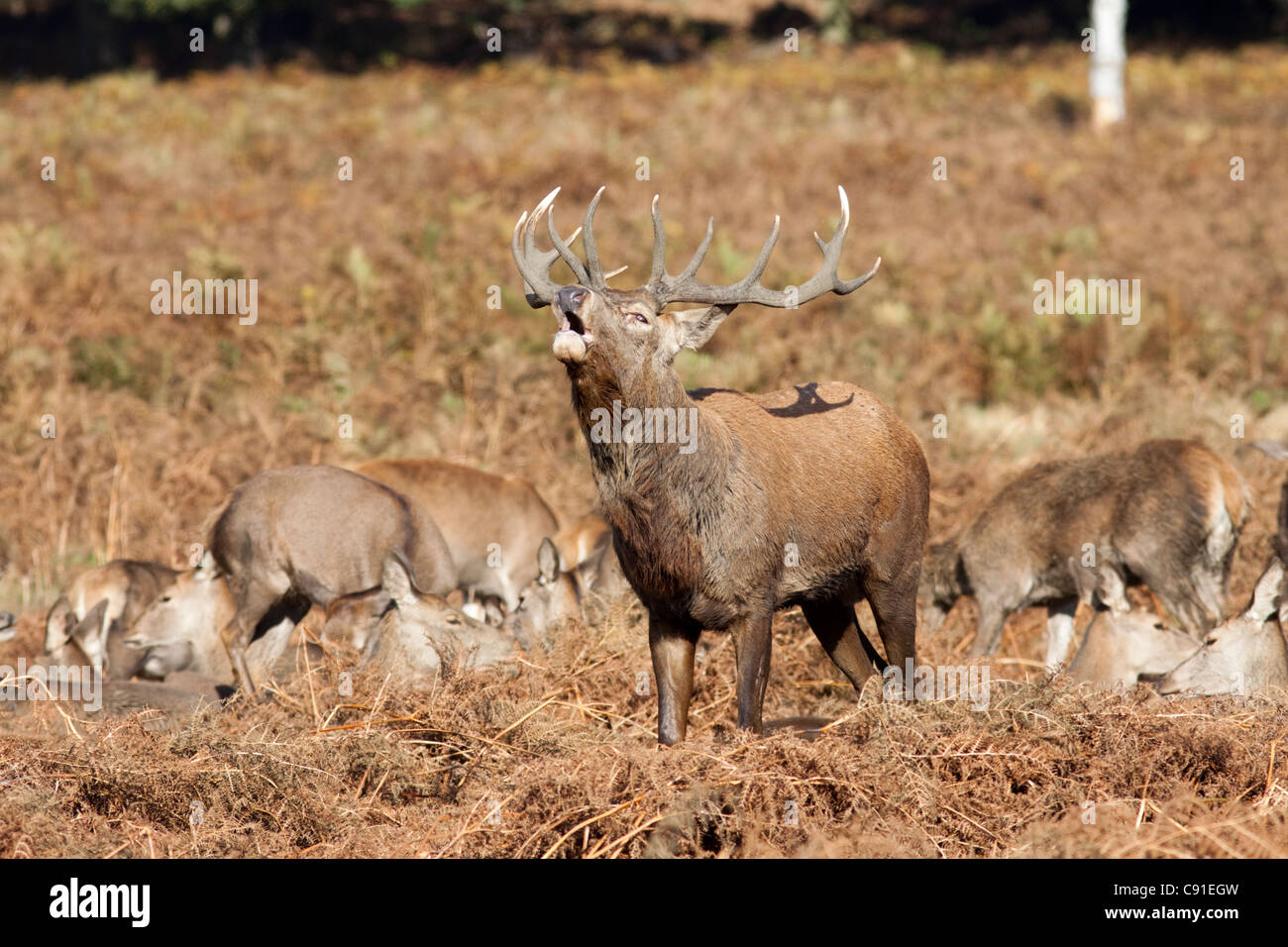Red deer stag roaring/bellowing during the rut, Curvus elaphus, Richmond park, autumn/fall, Surrey, England, UK - Stock Image