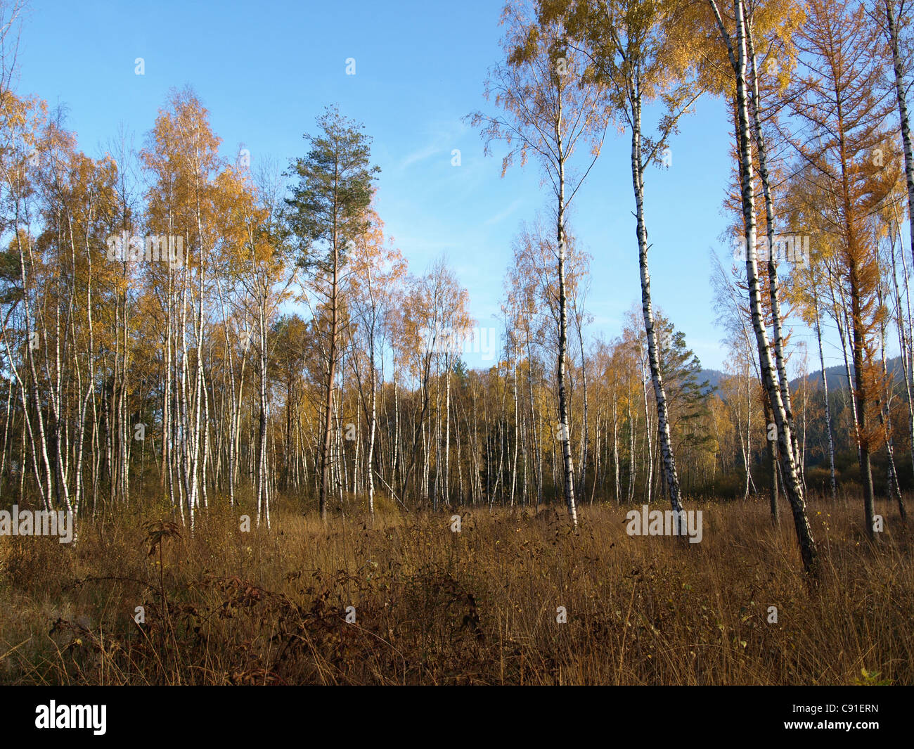 highmoor, hill moor, continental raised bag / Arracher Hochmoor / Bavarian Forest, Bavaria, Germany Stock Photo