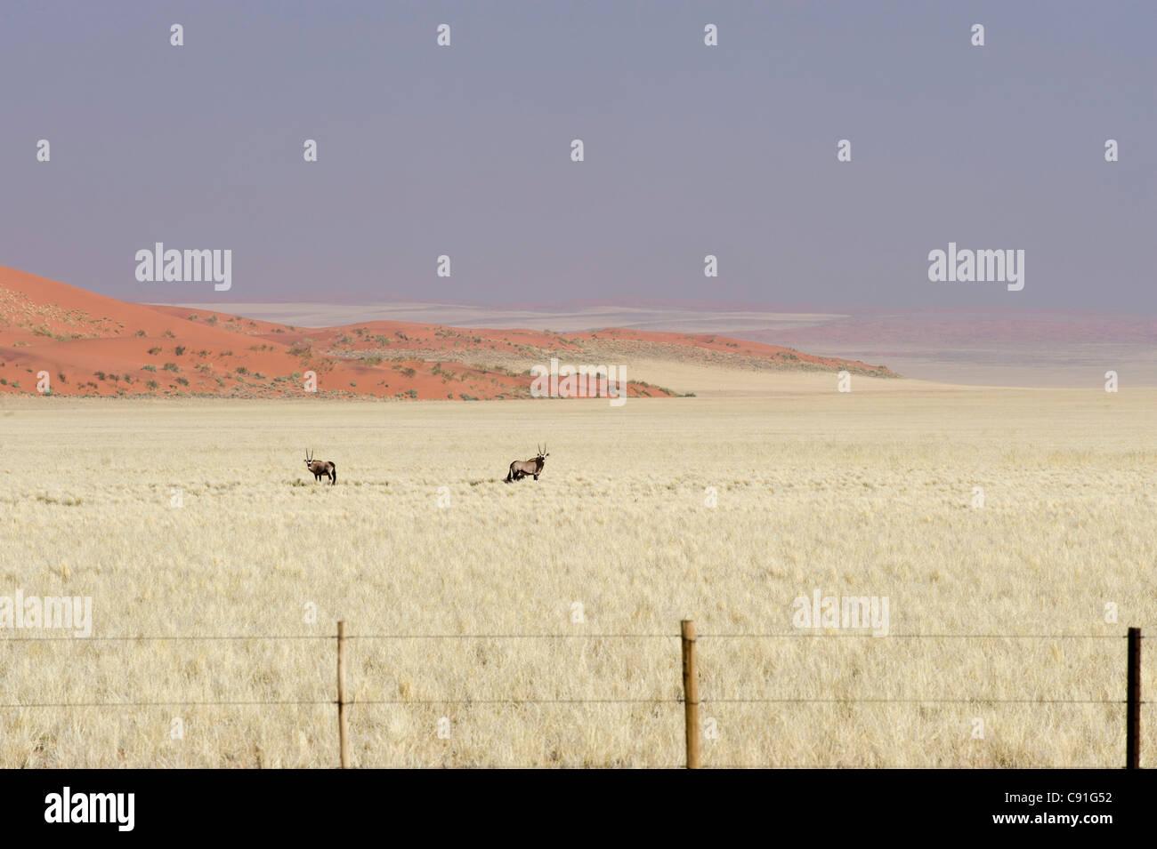 Gemsbuck Oryx gazella and red sand dunes of Namib Naukluft Park fenced off along the Raod 707 in Namibia - Stock Image