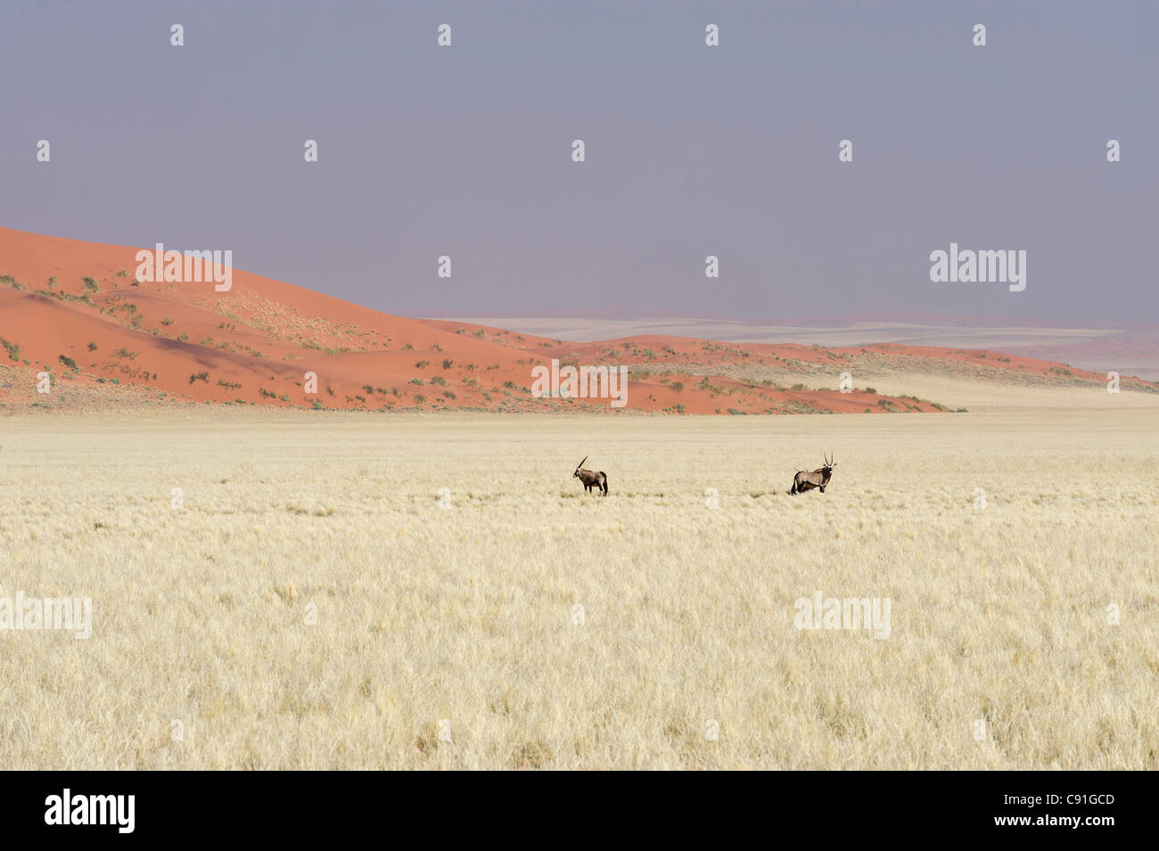 Gemsbuck Oryx gazella and red sand dunes of Namib Naukluft Park along the Raod 707 in Namibia - Stock Image