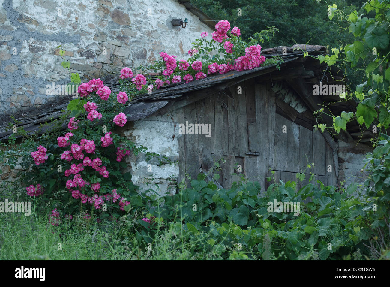Detail of country house with roses, Camino Primitivo, Province of Lugo, Galicia, Northern Spain, Spain, Europe - Stock Image