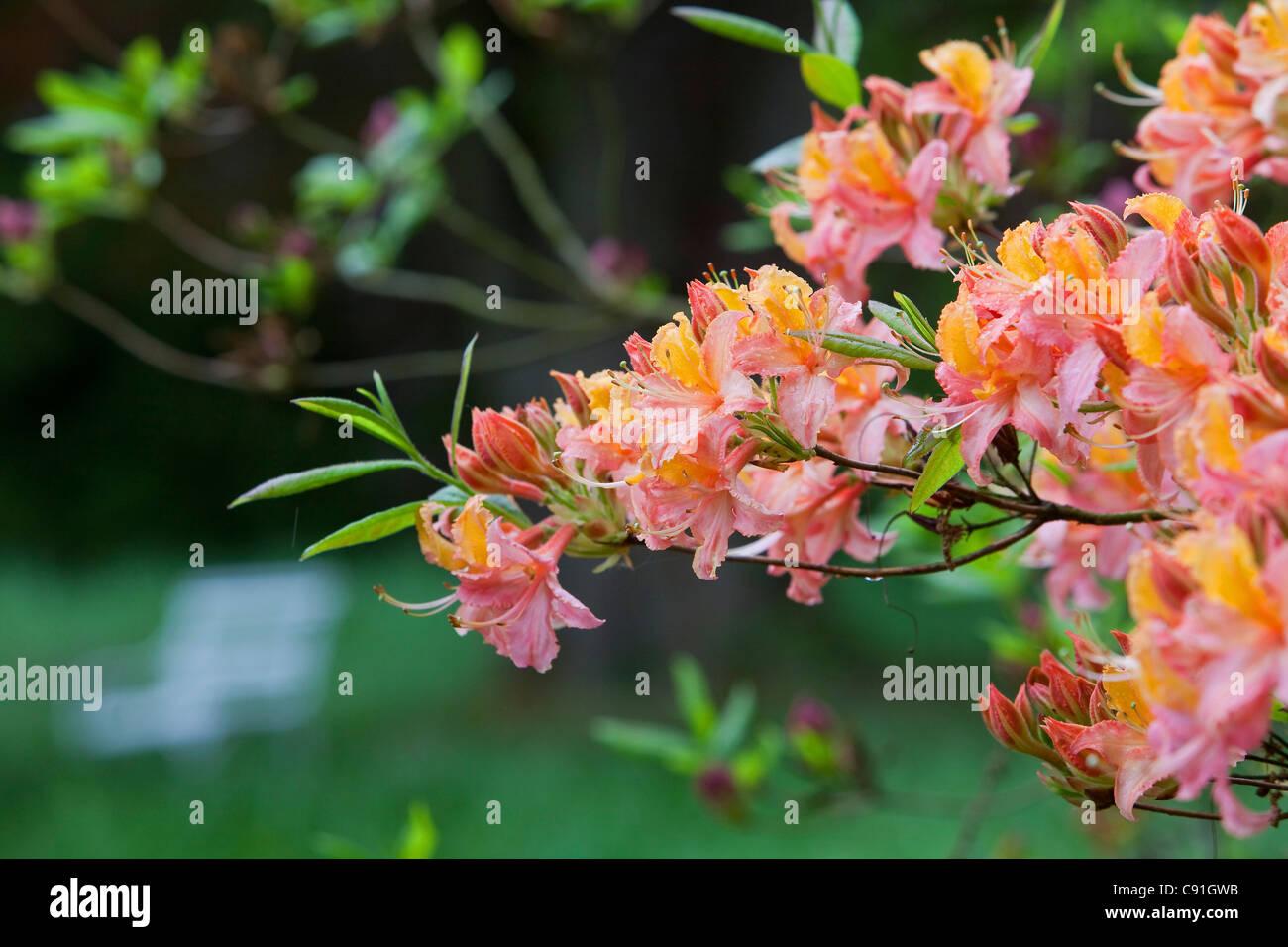 Flowering azaleas in full bloom in Breidings garden, Soltau, Lower Sayony, Germany - Stock Image