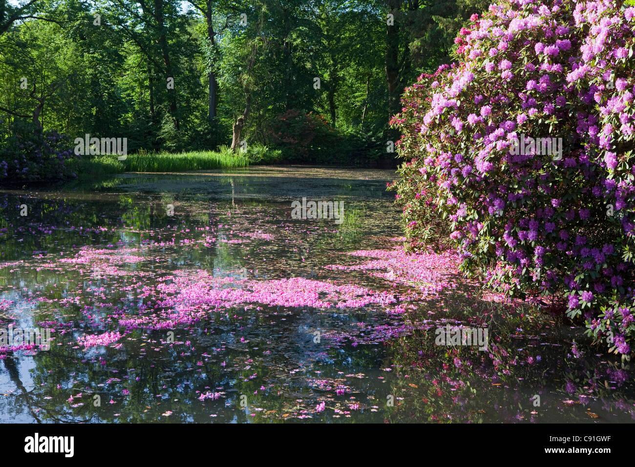 Pink rhododendron petals floating in the water, landscape garden, Breidings garden, Soltau, Lower Saxony, Germany - Stock Image