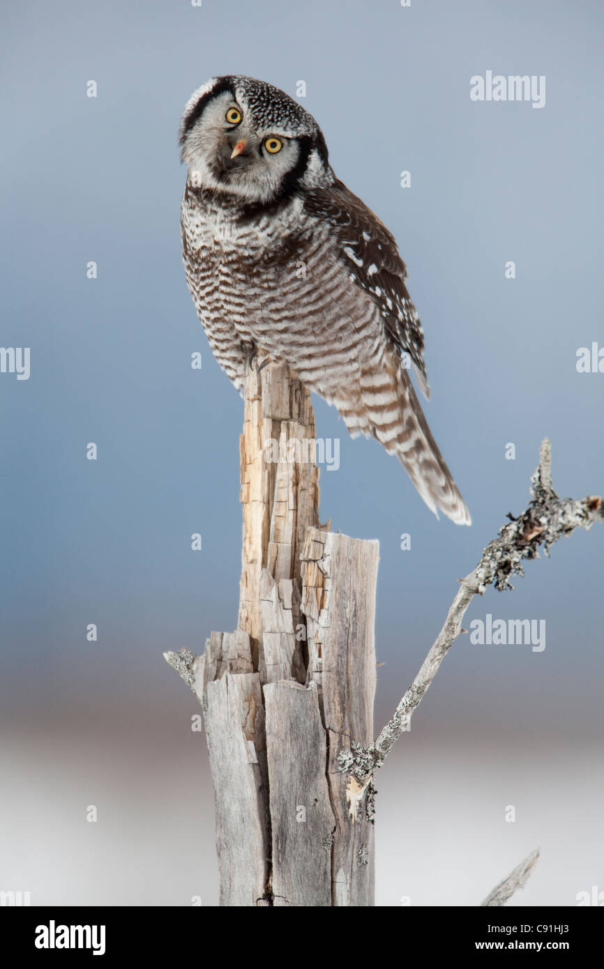Northern Hawk Owl, with head tilted, perched on snag on Copper River Delta, near Cordova, Southcentral Alaska, Winter - Stock Image