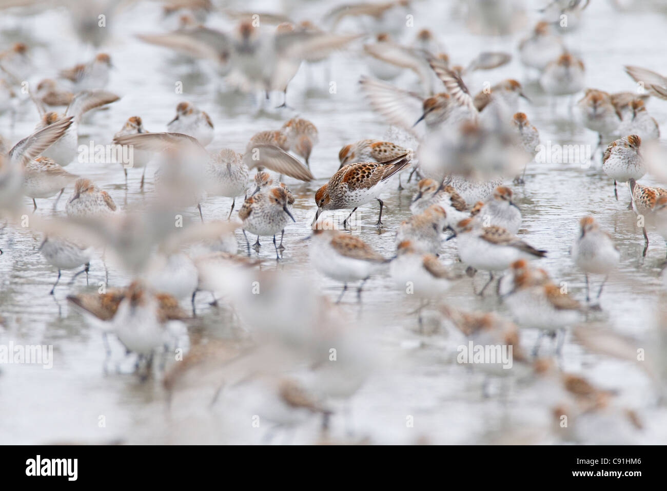 Western Sandpipers feeding among migrating flock on mudflats at Hartney Bay, Copper River Delta, near Cordova, Alaska, - Stock Image