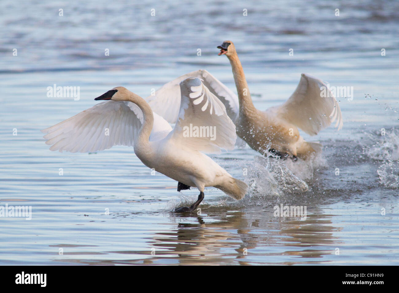 Trumpeter swans chasing each other in a territorial dispute, Copper River Delta, near Cordova, Southcentral Alaska, - Stock Image