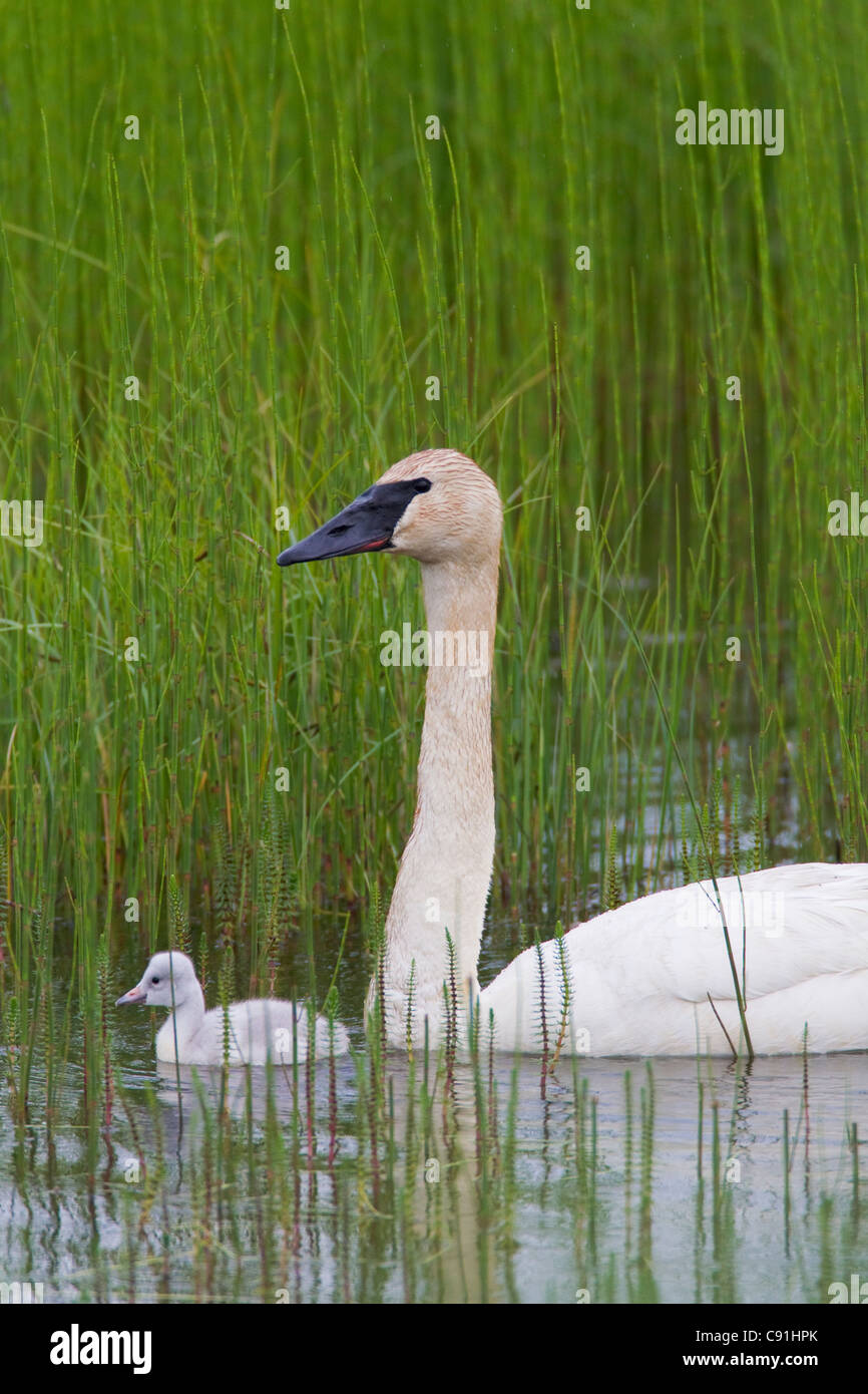 Trumpeter swan with newly hatched cygnet, Copper River Delta, near Cordova, Southcentral Alaska, Summer - Stock Image