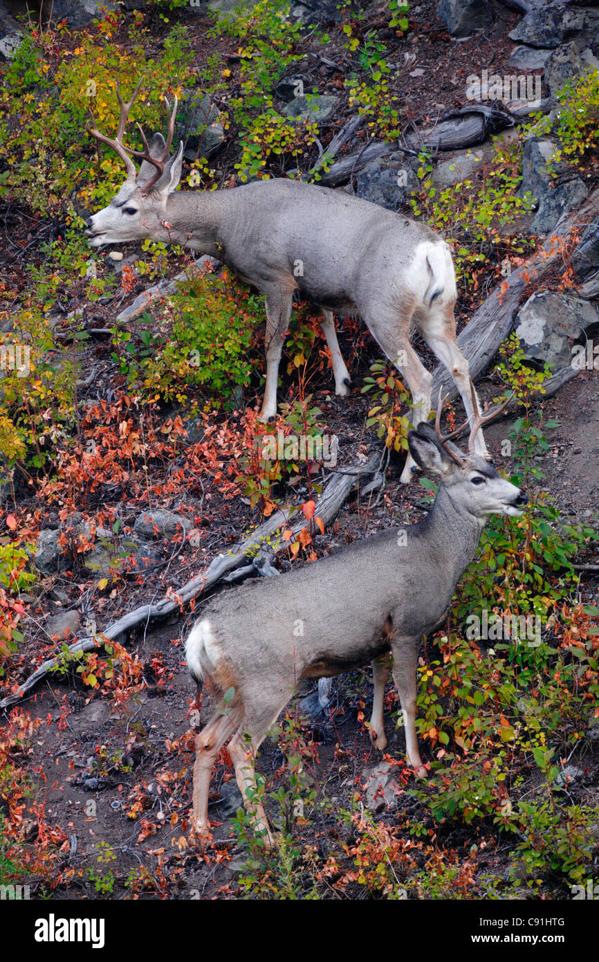 Black-tailed Deer, Yellowstone National Park - Stock Image