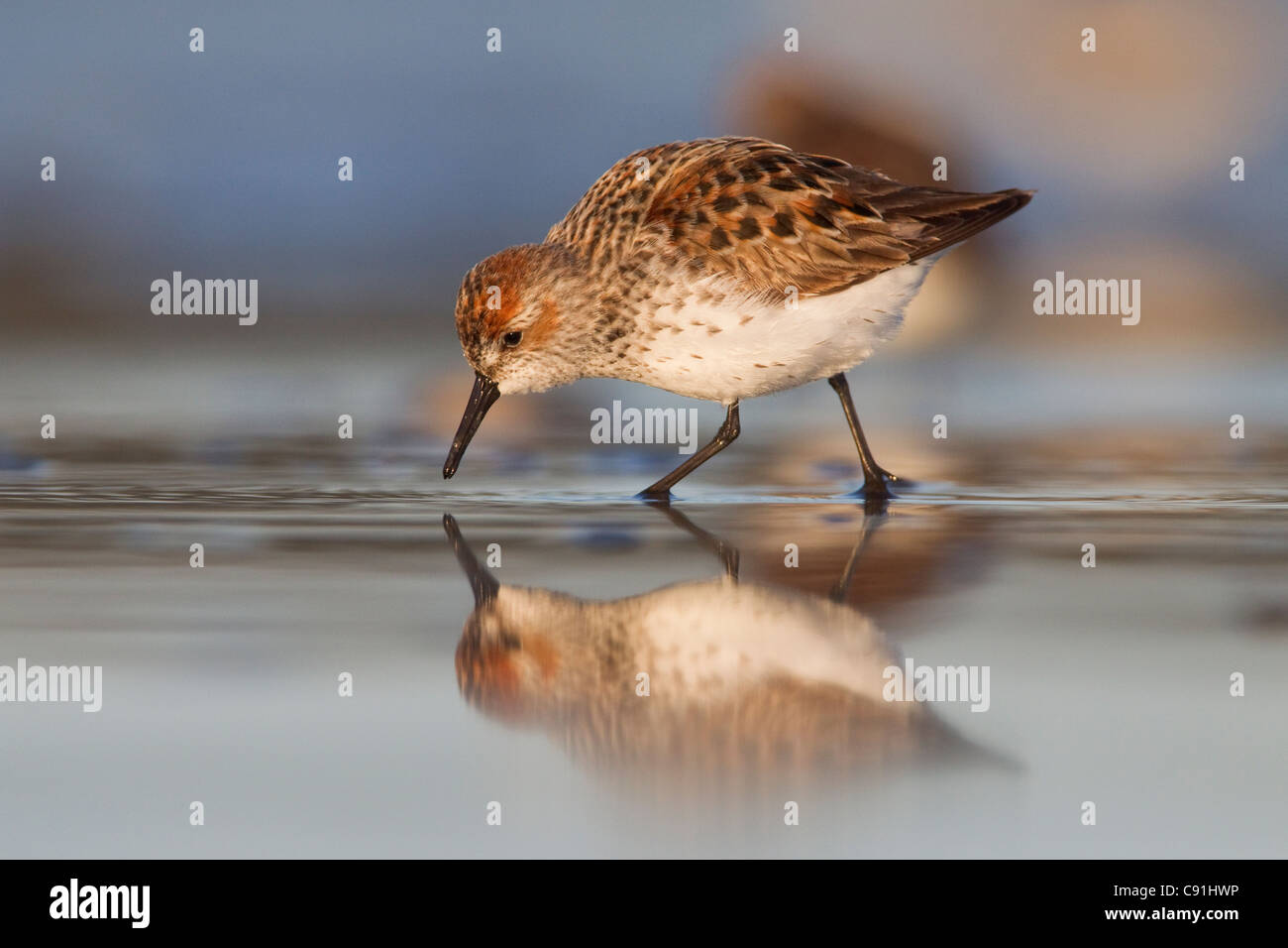 Western Sandpiper foraging on mudflats with reflection, at Hartney Bay, Copper River Delta, near Cordova, Alaska, - Stock Image