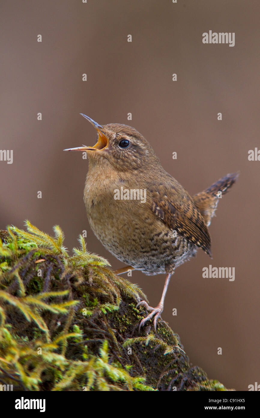 A male Winter wren singing from a mossy perch in an old growth forest on Copper River Delta, near Cordova, Alaska, - Stock Image