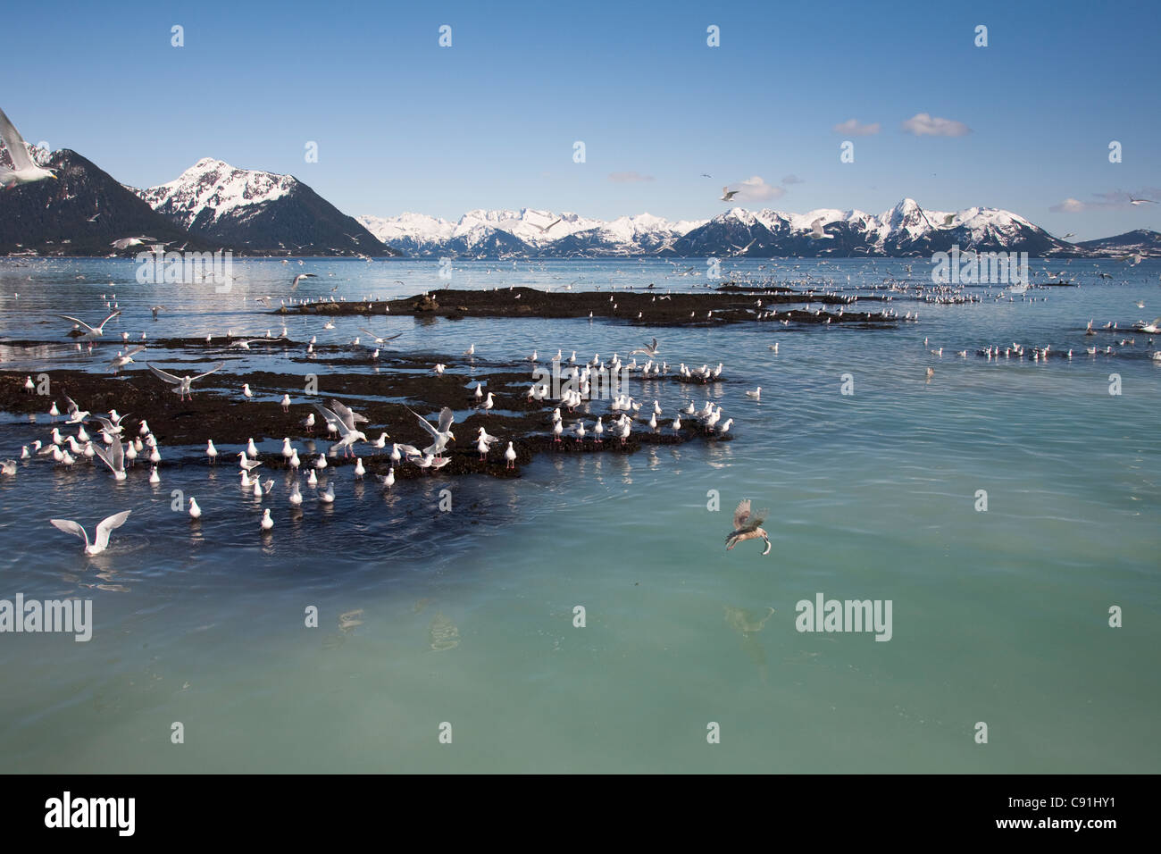 Glaucous-winged gulls catching herring at herring spawn, Hell's Hole, Prince William Sound, Southcentral Alaska, - Stock Image