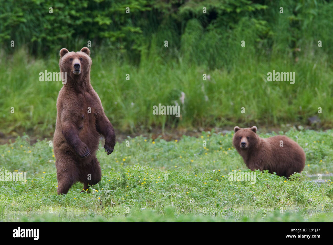Brown bear sow standing alert with yearling cub in background, Prince William Sound, Southcentral Alaska, Summer Stock Photo
