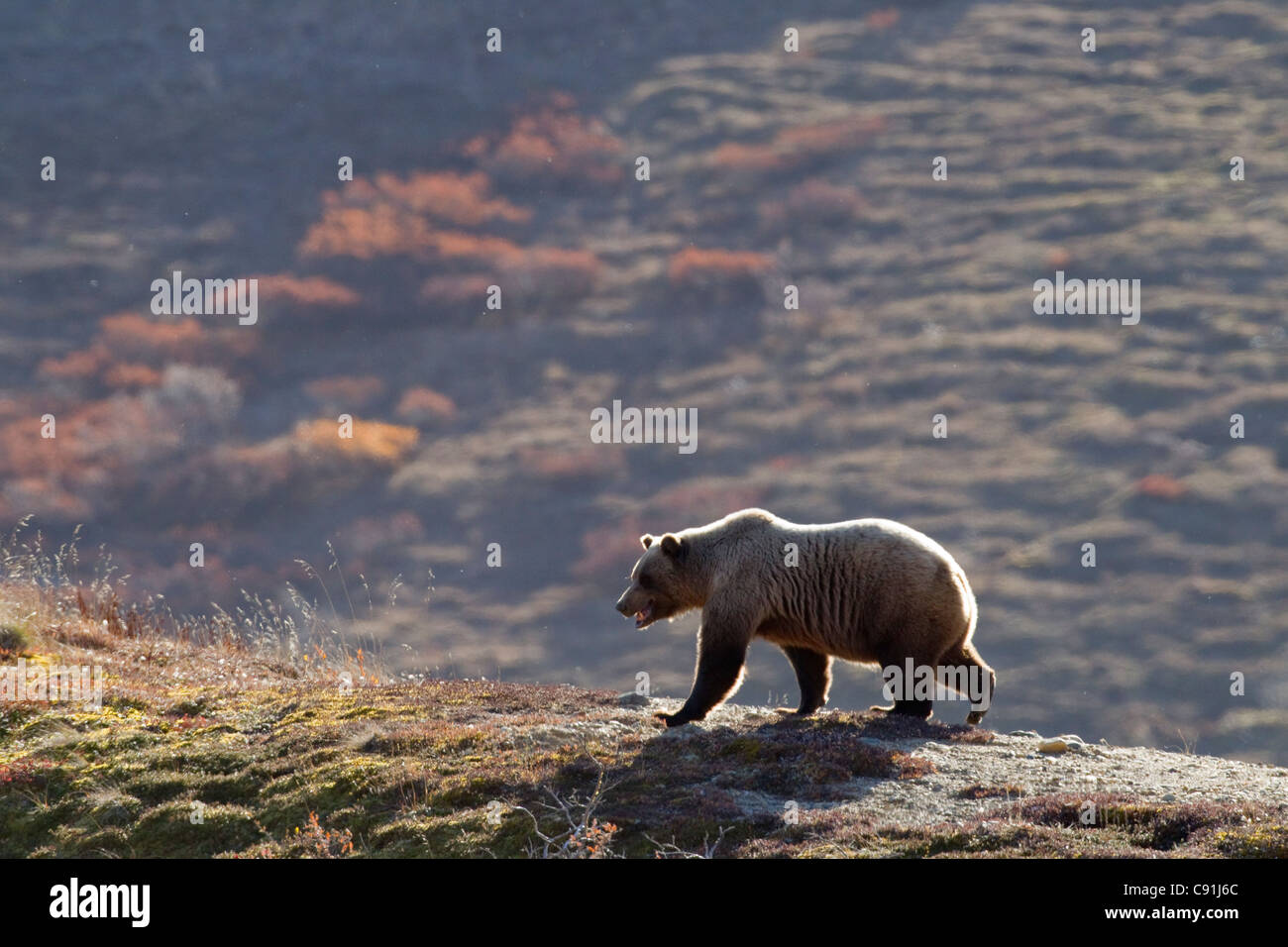 Grizzly bear walking on ridge with mountainside in Fall colors in background, Denali National park, Interior Alaska, - Stock Image