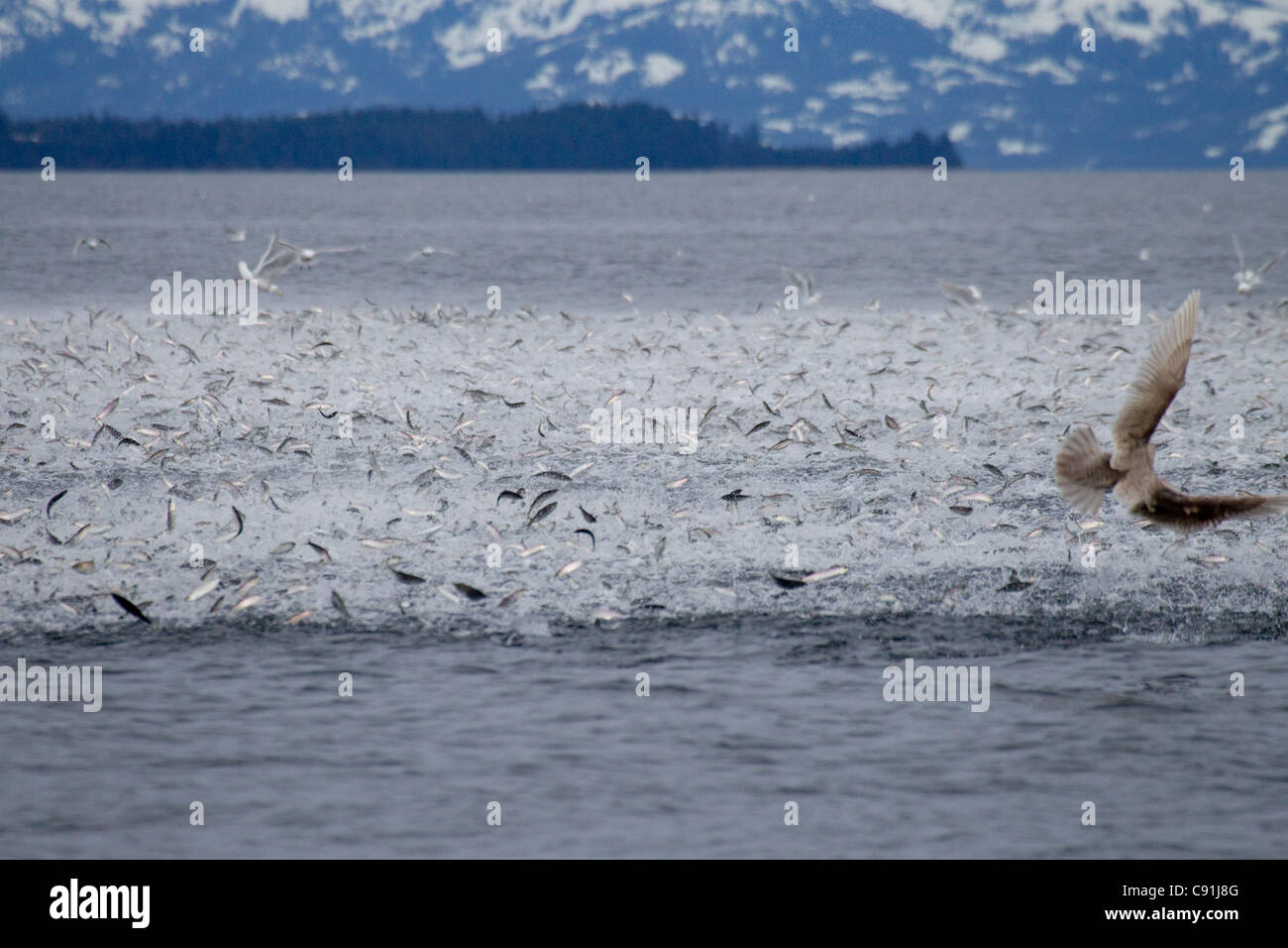 Large school of herring erupting from surface pursued by lunge-feeding humpback whales, Prince William Sound, Alaska - Stock Image