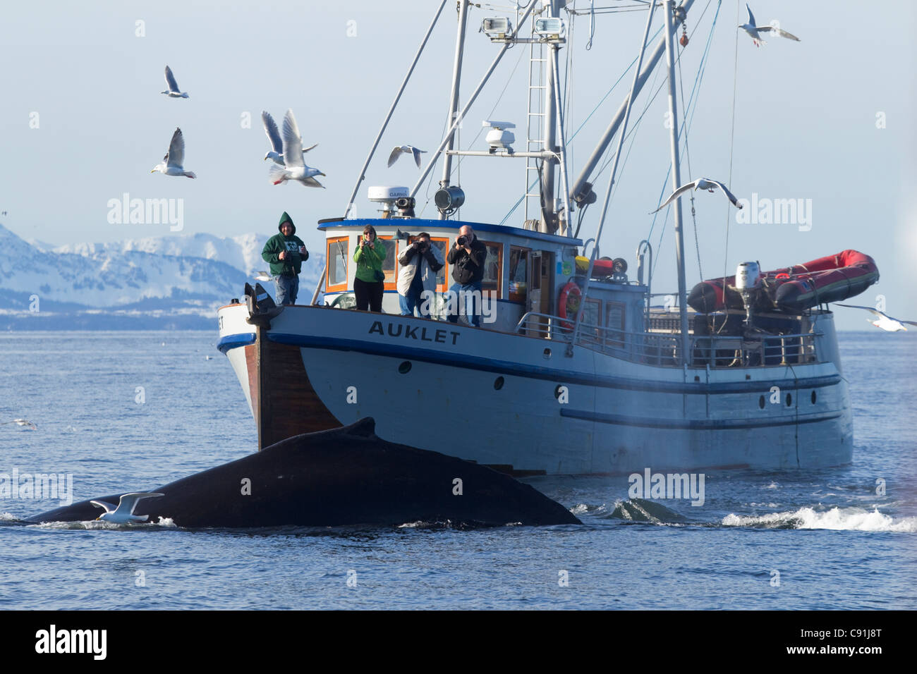 Humpback whales surfacing in front of vessel Auklet with people whale watching from bow, Prince William Sound, Alaska - Stock Image