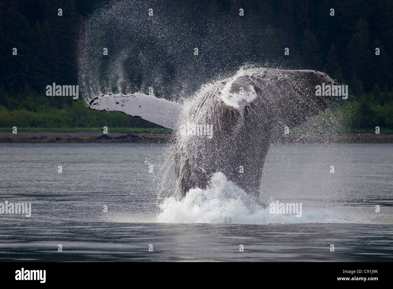Humpback whale breaching in front of Montague Island, Prince William Sound, Southcentral Alaska, Summer - Stock Image