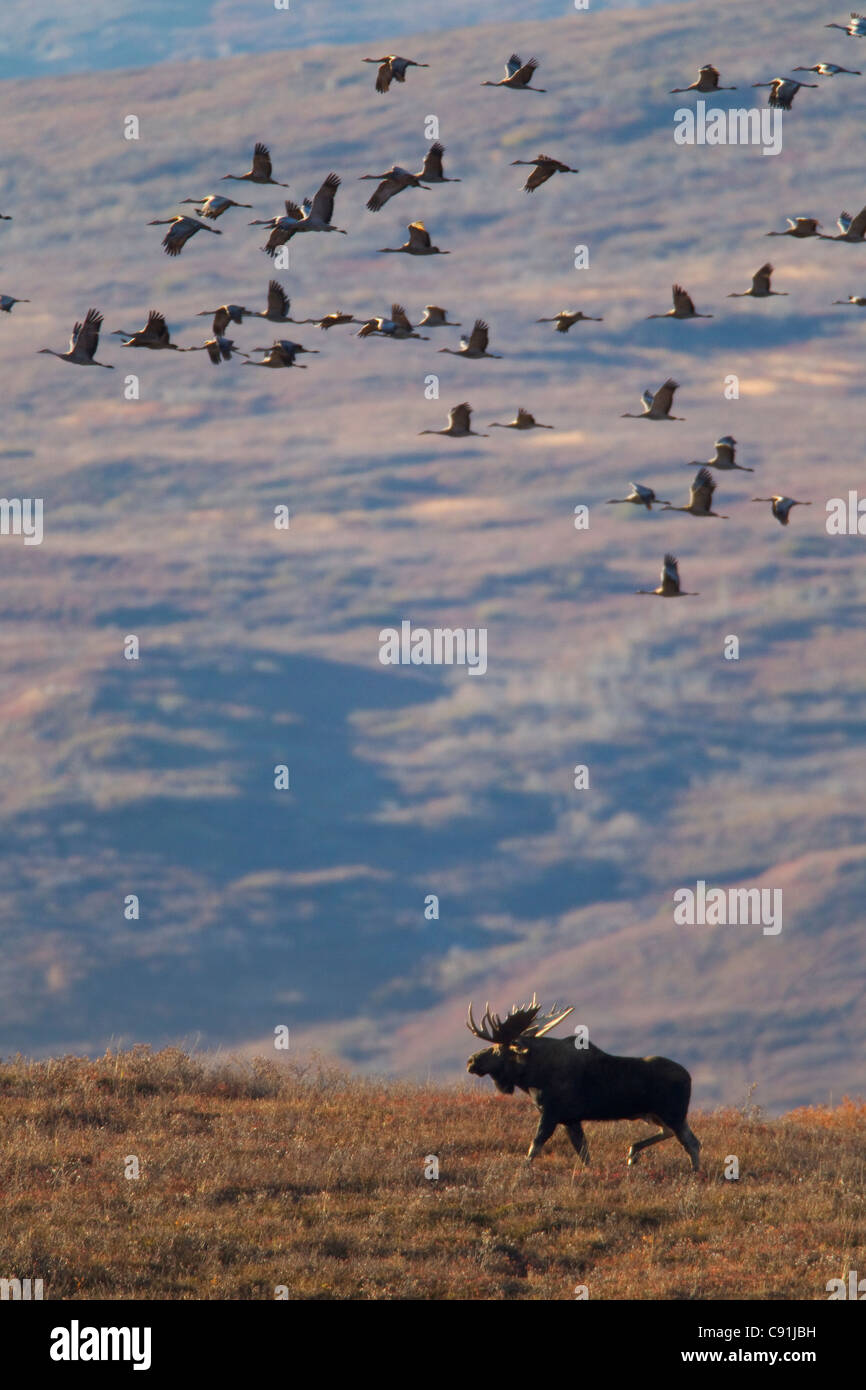 Moose bull walking on tundra with flock of migrating sandhill cranes passing overhead, Denali National Park, Interior - Stock Image