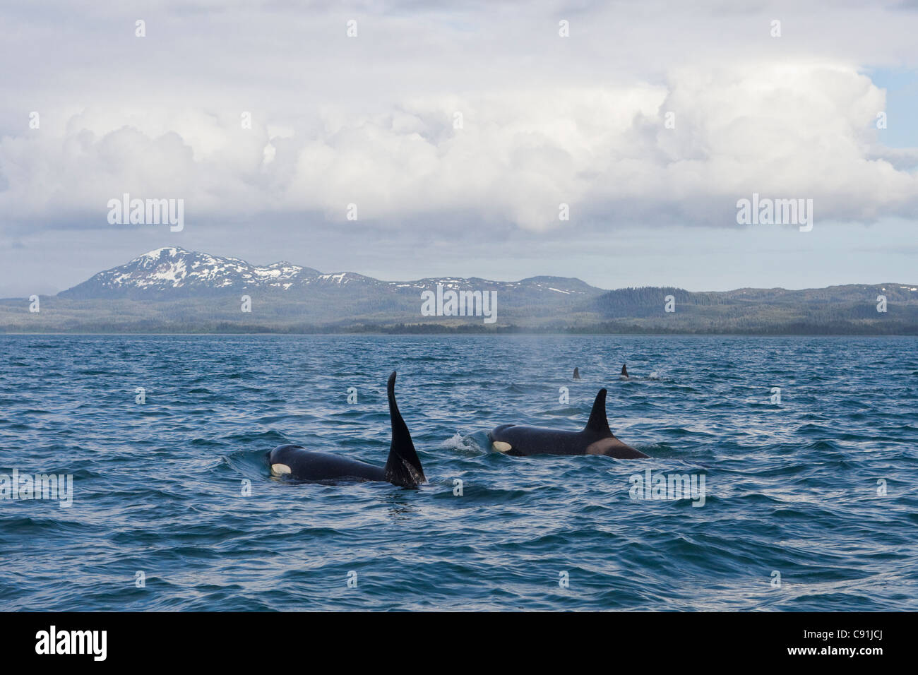 Killer Whale pod with large male swimming in front of Hawkins Island in Prince William Sound, Southcentral Alaska, Stock Photo
