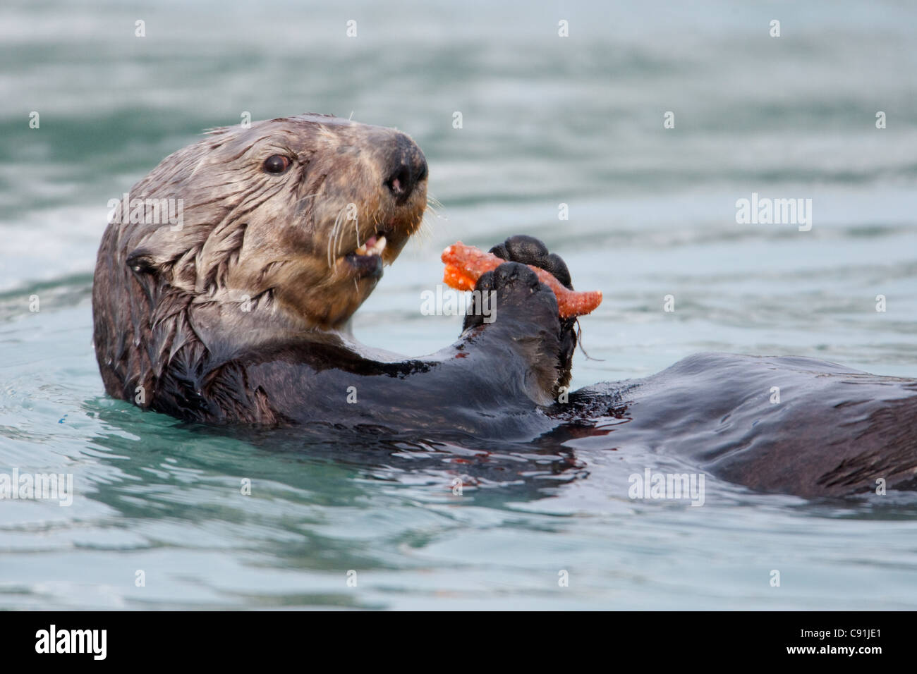 Sea otter carrying and eating leg of starfish, Prince William Sound, Southcentral Alaska, Winter - Stock Image