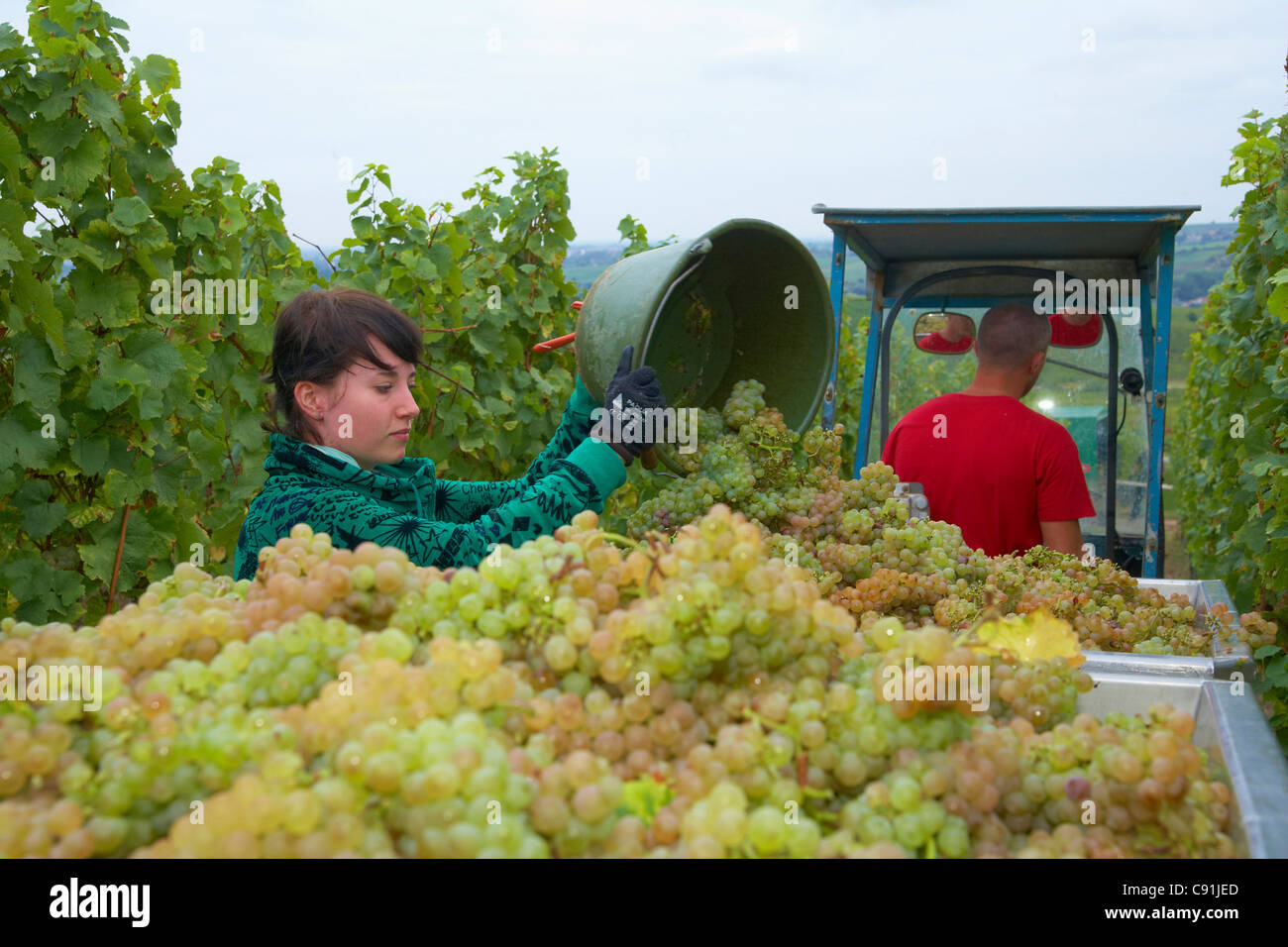 Vintage at wine-grower Rolf und Tina Pfaffmann GbR at Frankweiler Deutsche Weinstrasse Palatinate Rhineland-Palatinate - Stock Image