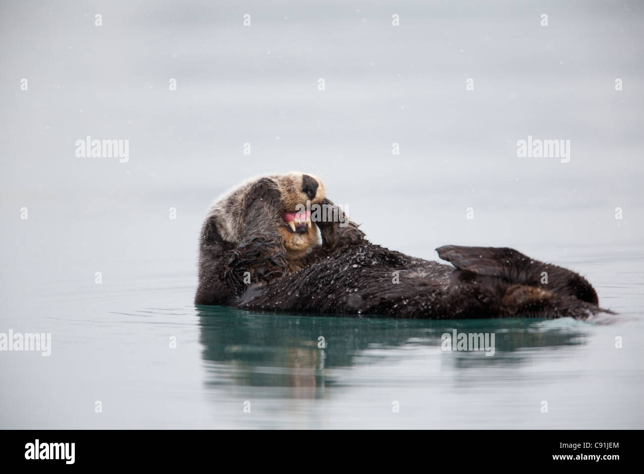 Sea otter floating on back and rubbing cheeks with paws exposing teeth, Prince William Sound, Southcentral Alaska, - Stock Image