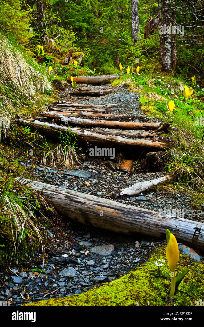 Aging log walkway along Deer Mountain Trail through a temperate rainforest, Ketchikan, Southeast Alask, Summer - Stock Image