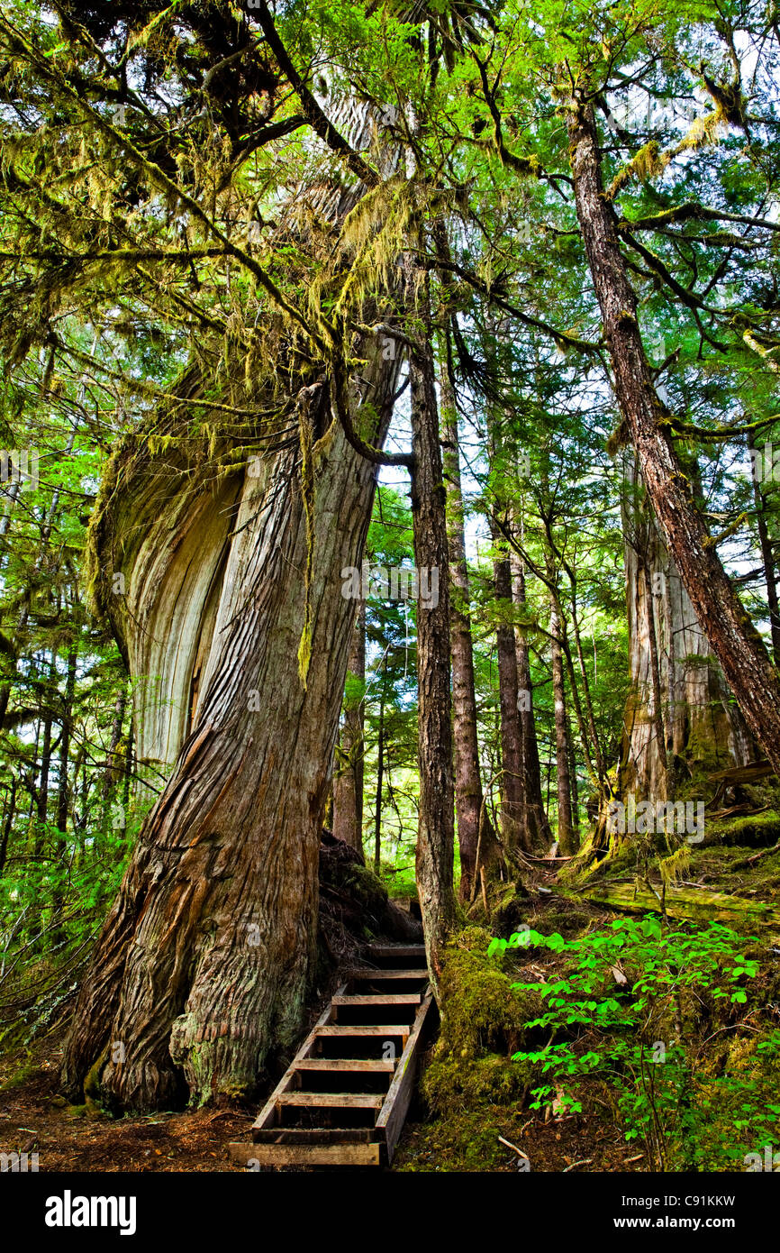 Steps lead past a mossy, twisting tree along Lunch Falls Loop Trail, Settler's Cove State Recreational Site, - Stock Image