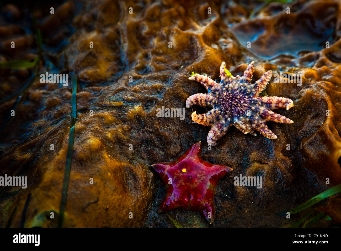 Close up of Seastars exposed at low tide,  Clover Passage, Ketchikan, Southeast Alaska, Summer - Stock Image