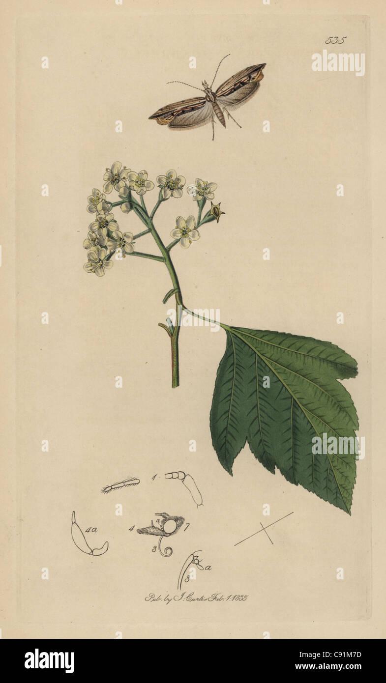 Harpipteryx scabrella, Wainscot Hooktip or Smudge moth - Stock Image