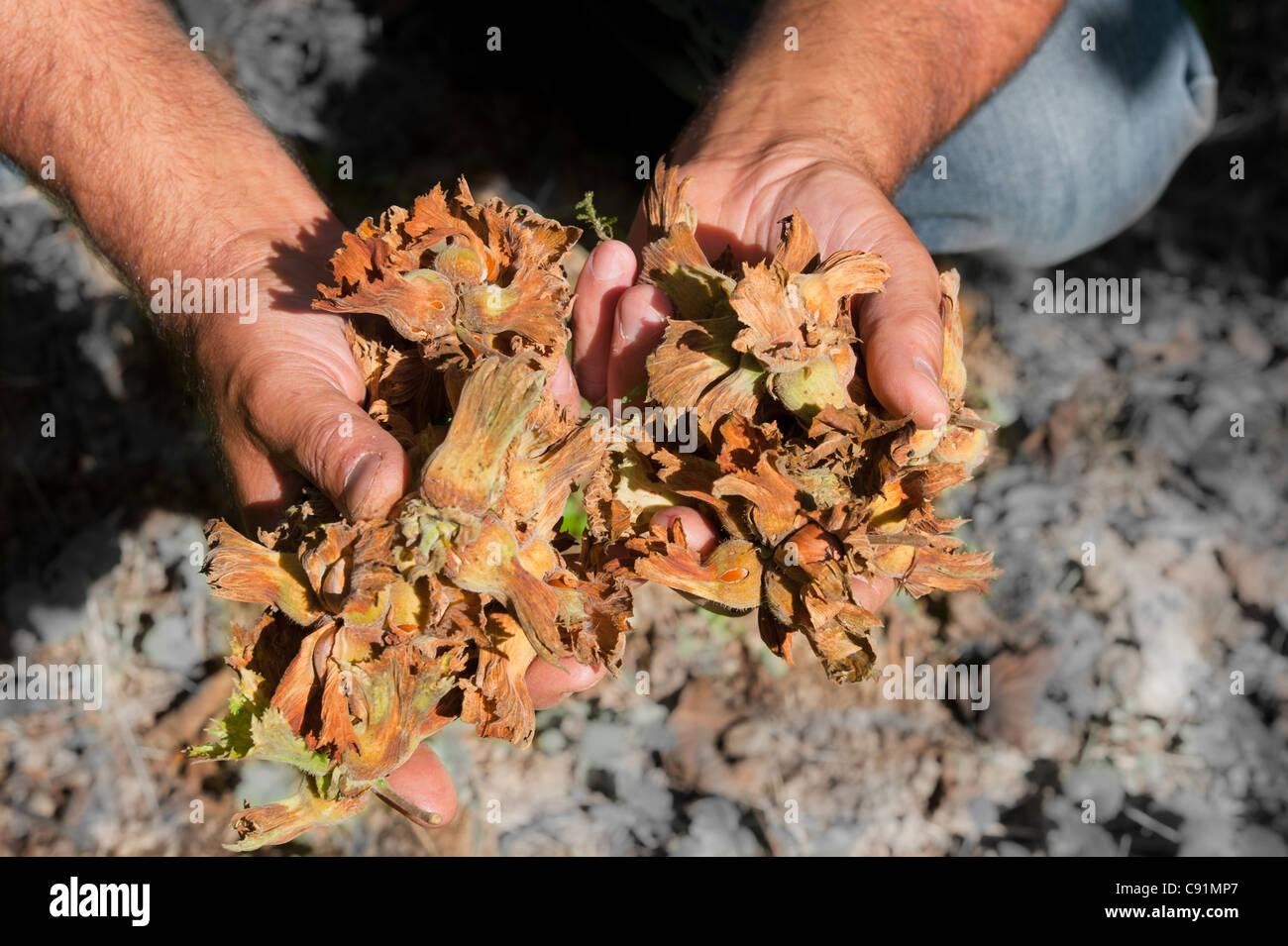 Hazelnut farmer with raw nuts - Stock Image