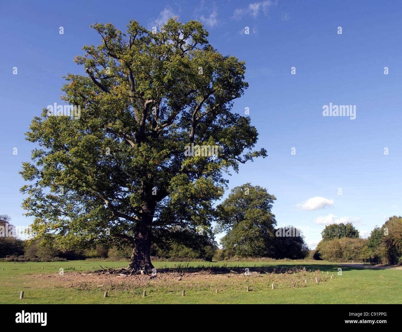 ancient oak tree Hatfield Forest - Stock Image