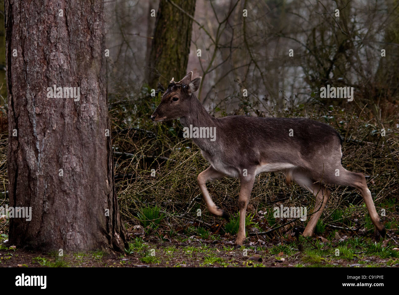 Roe Deer Stag in a woodland clearing, a small deer not often seen as they are very wary of humans. Stock Photo