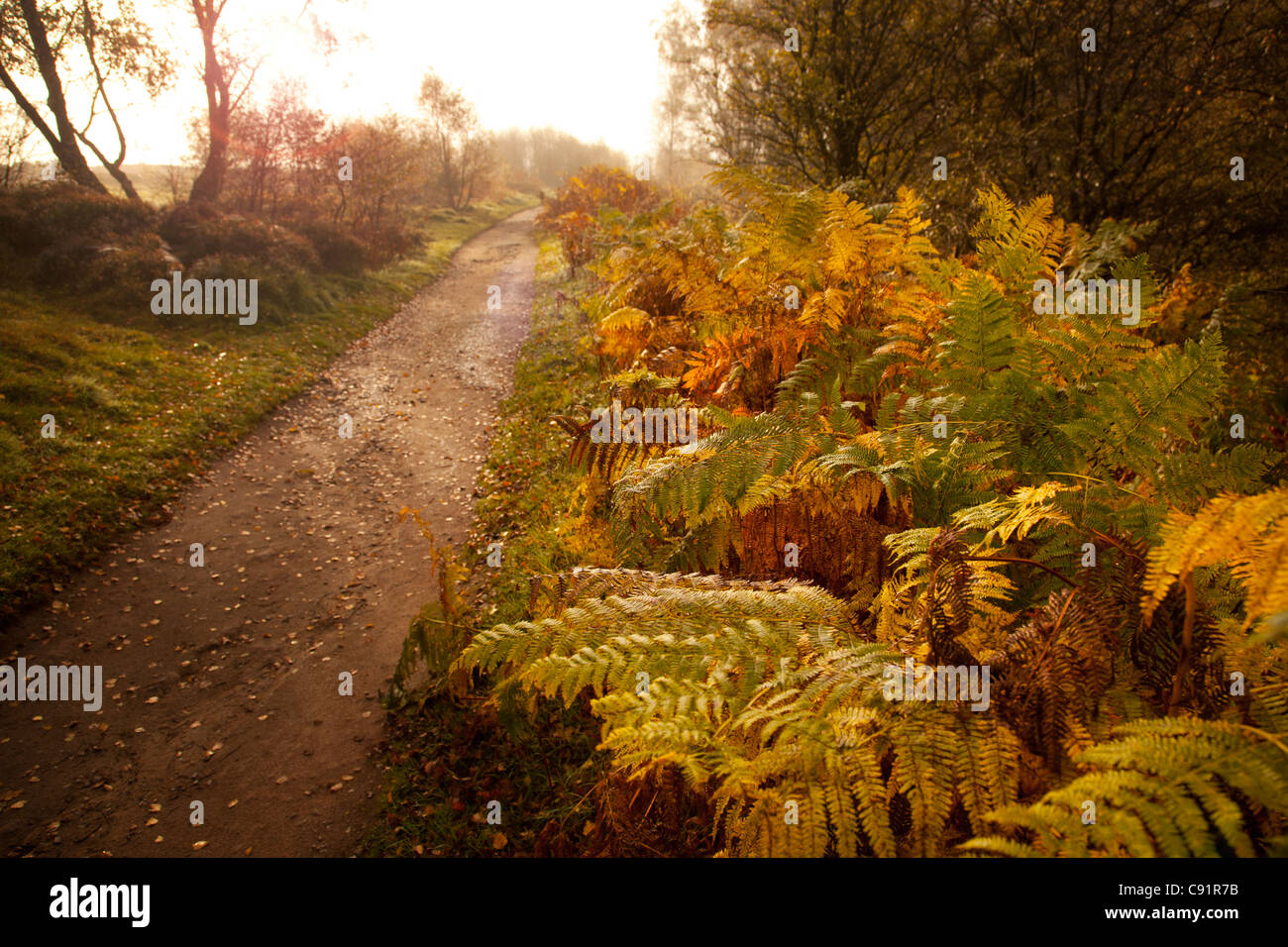 Misty morning path on edge of woods lined with ferns leading out towards Froggetts edge, Peak district, Derbyshire, - Stock Image