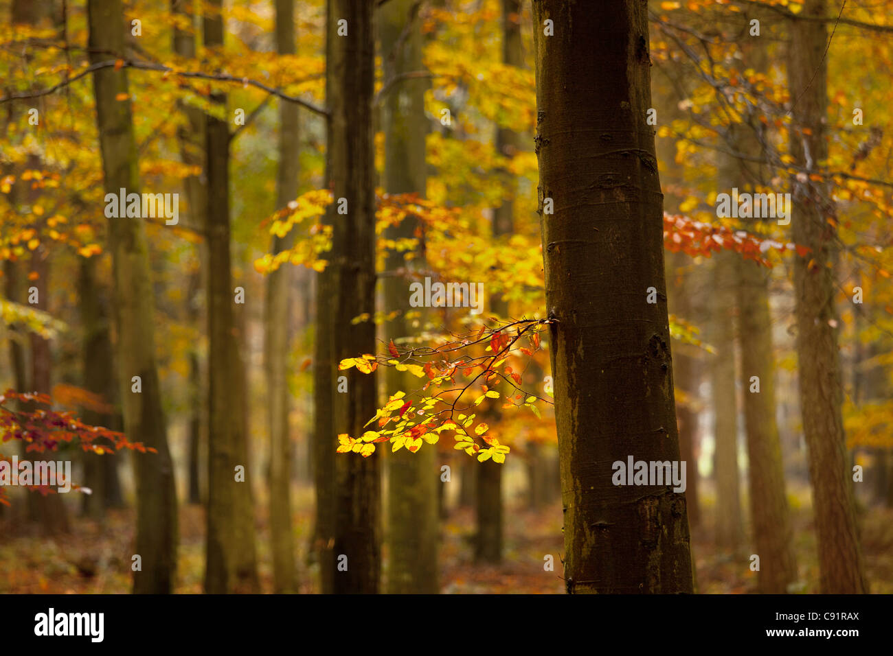 Close-up of leaves and Autumn trees in wood. - Stock Image