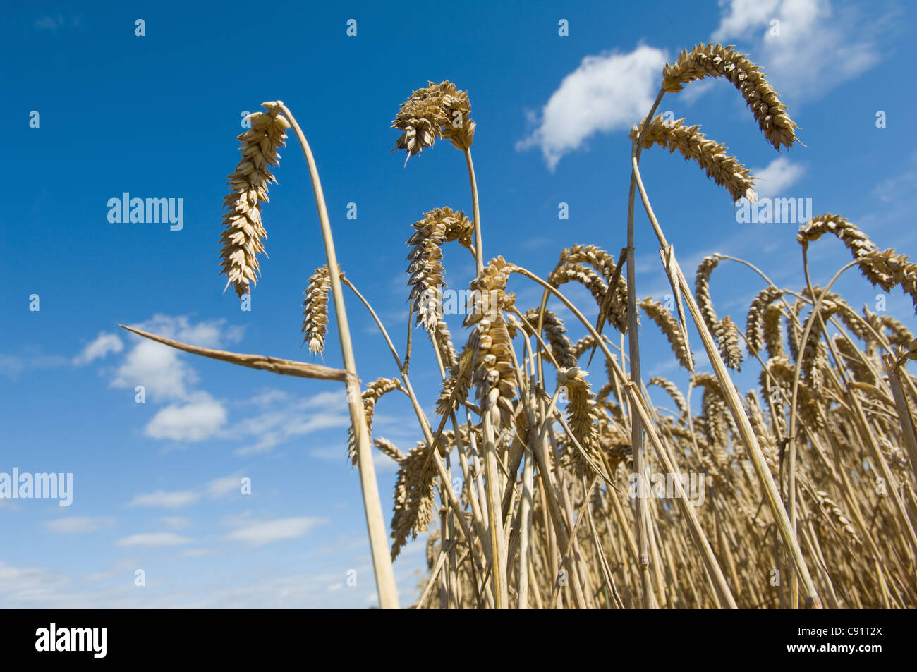 Close up of wheat stalks in field - Stock Image