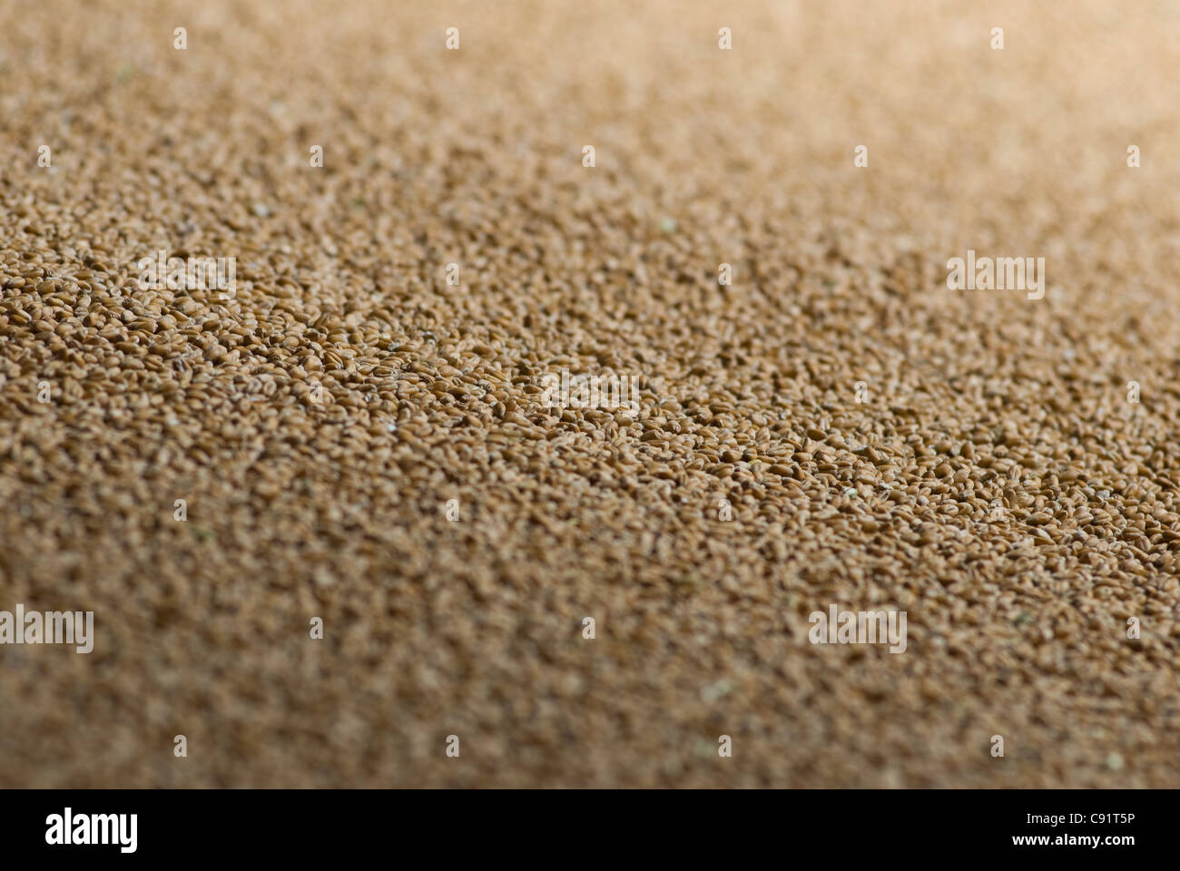 Close up of wheat grains Stock Photo