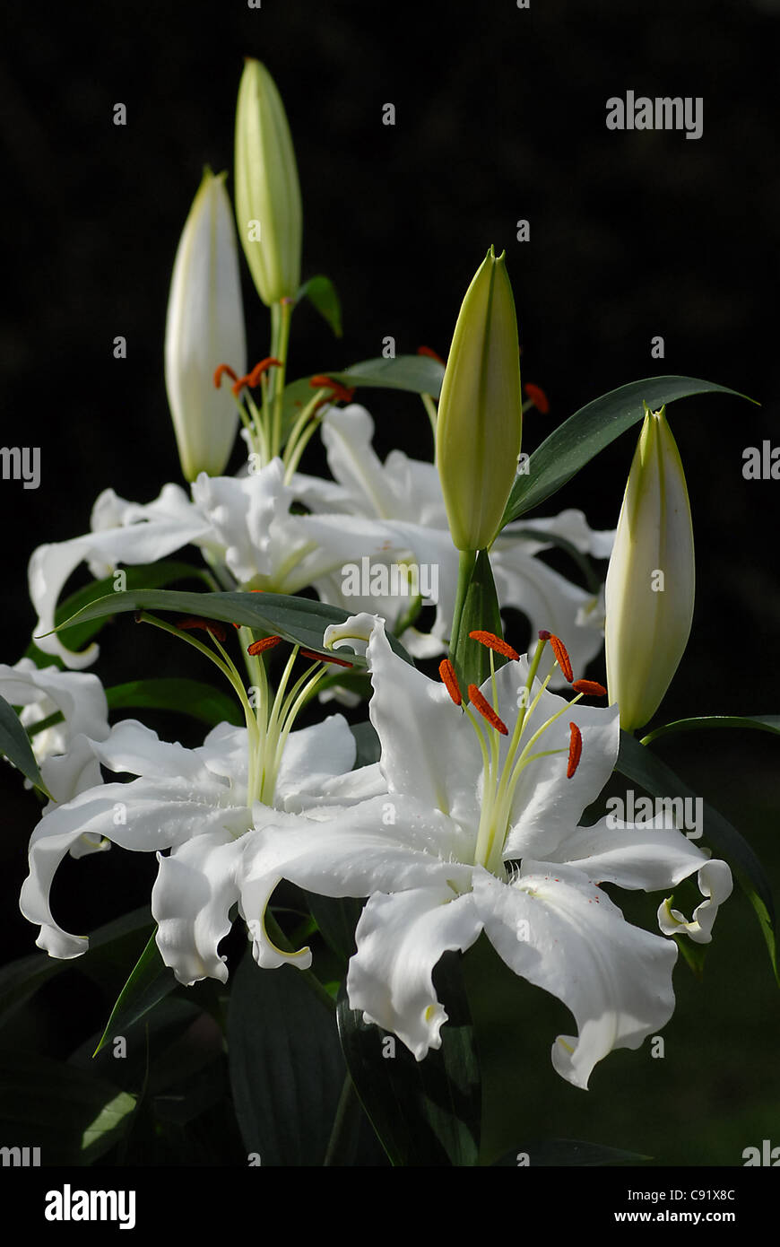 The Beautiful Blooms Of The White Lily Lilium Casa Blanca Stock