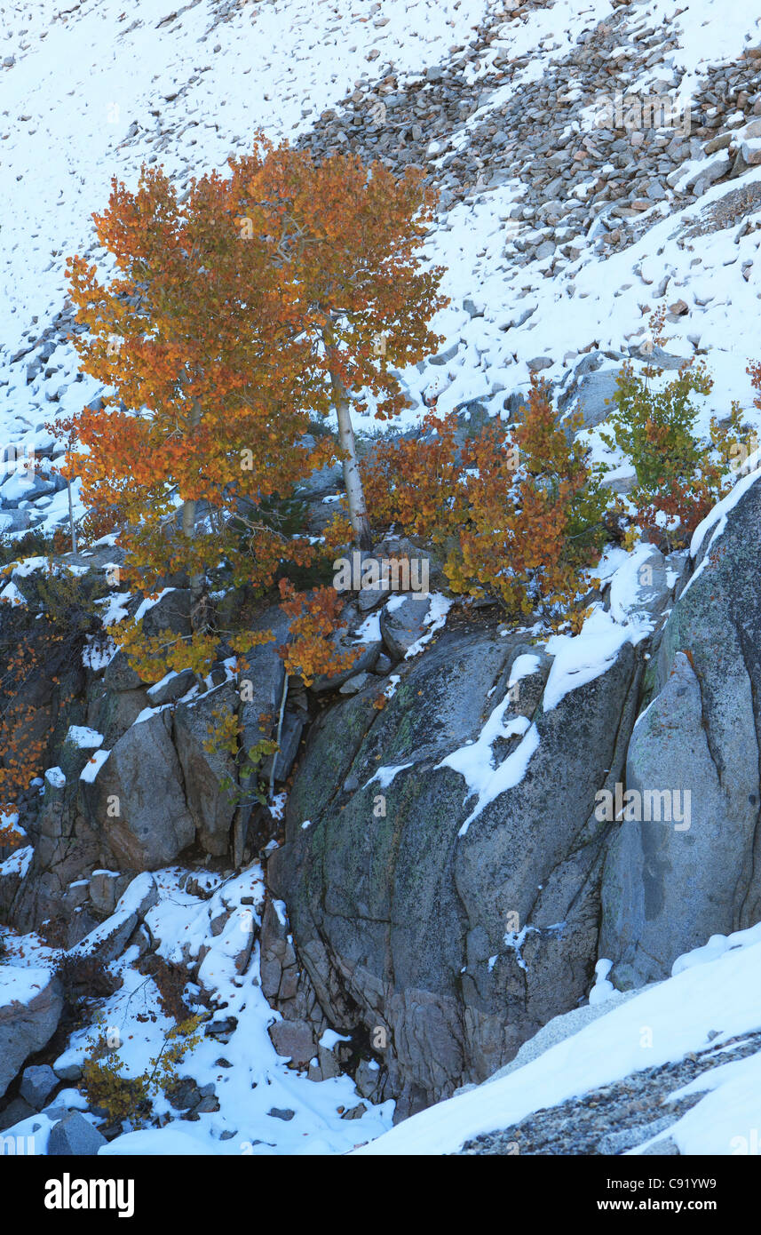 Lone aspen tree on a cliff in California mountains - Stock Image