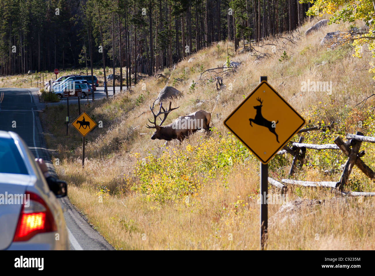 Amusing image of an elk walking from the woods toward the road in front of a deer crossing sign in Rocky Mountain - Stock Image