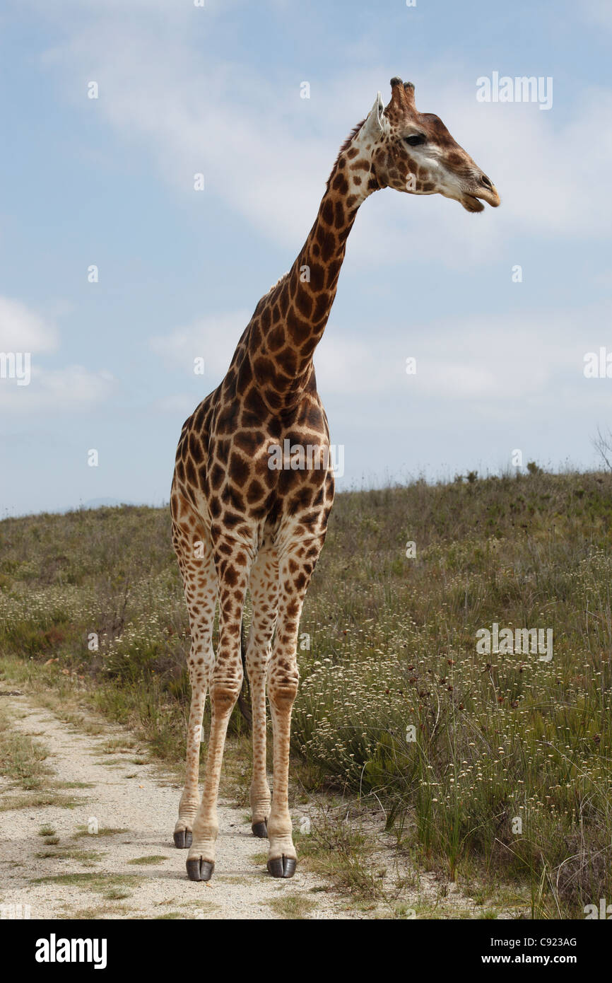 The giraffe Giraffa camelopardalis is an African even-toed ungulate mammal and can be seen in the Botlierskop Game - Stock Image