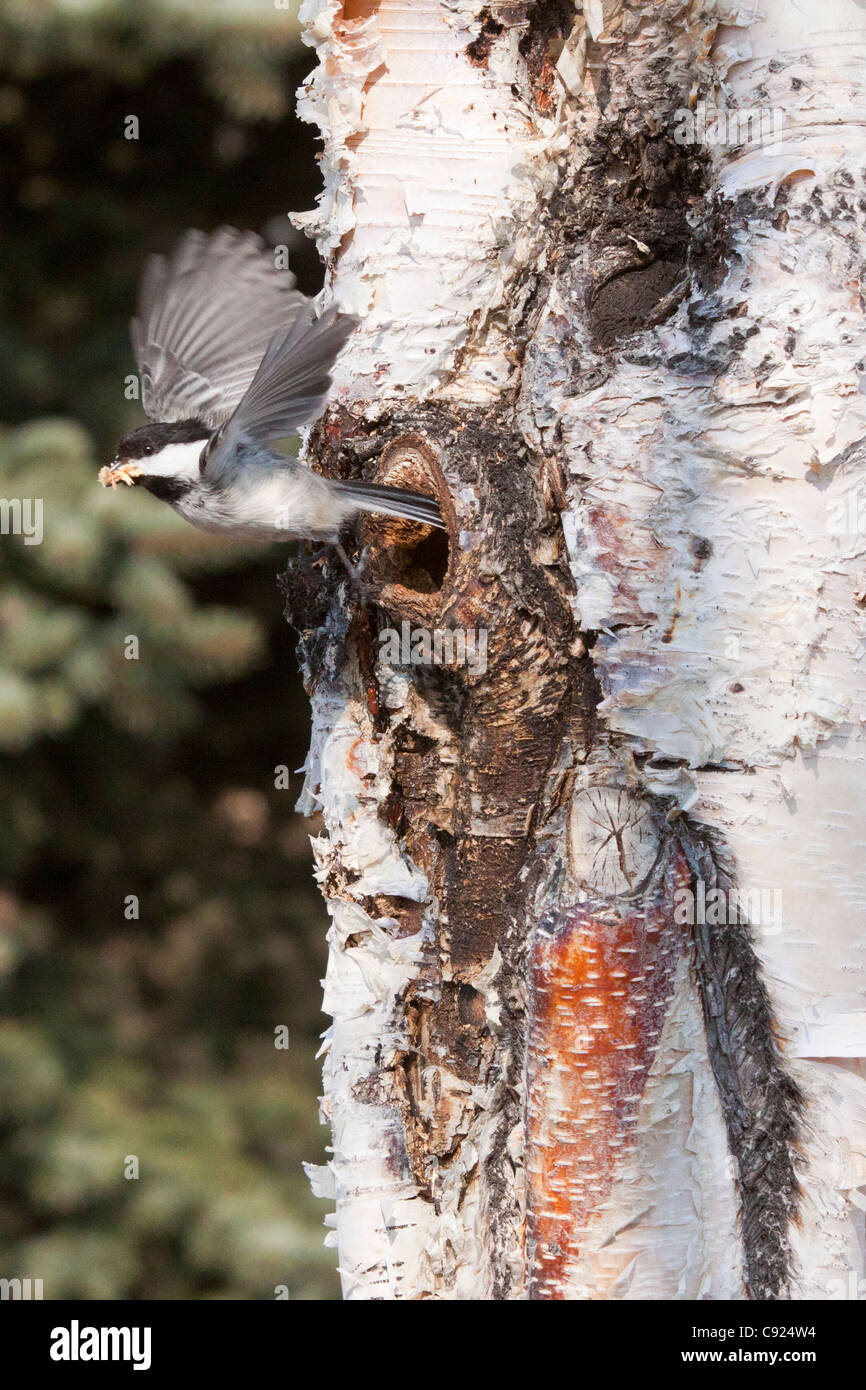 Black-capped Chickadees cleans out a nesting hole in a Birch tree, Anchorage, Southcentral Alaska, Spring - Stock Image