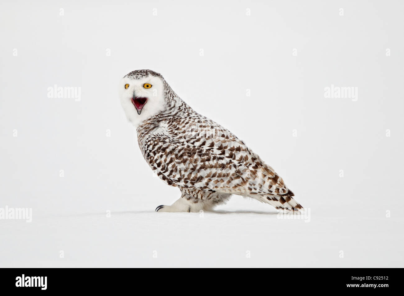 female snowy owl standing on snow saint barthelemy quebec canada