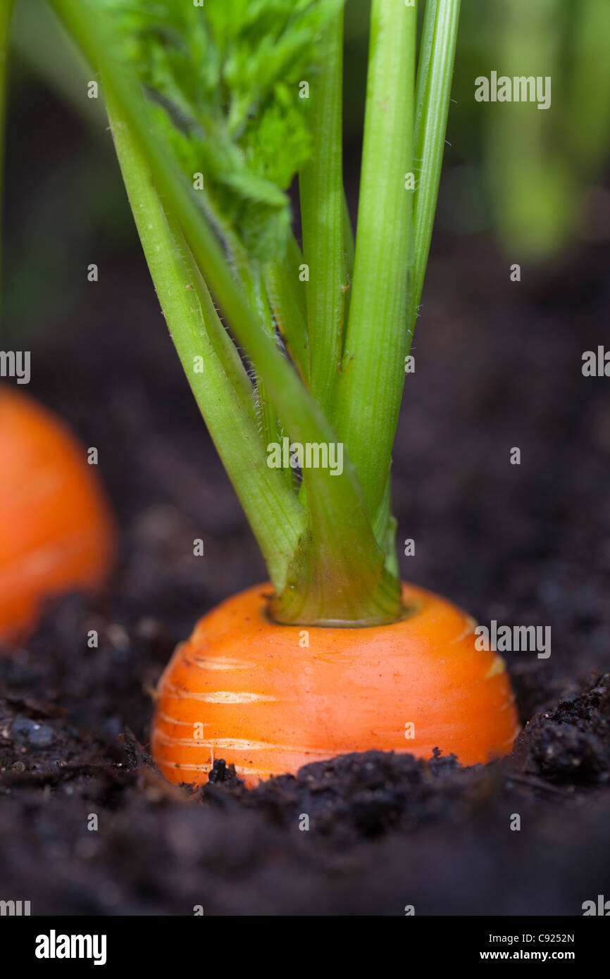 Macro of carrots growing in soil in a garden, Kodiak Island, Southwest Alaska, Summer - Stock Image