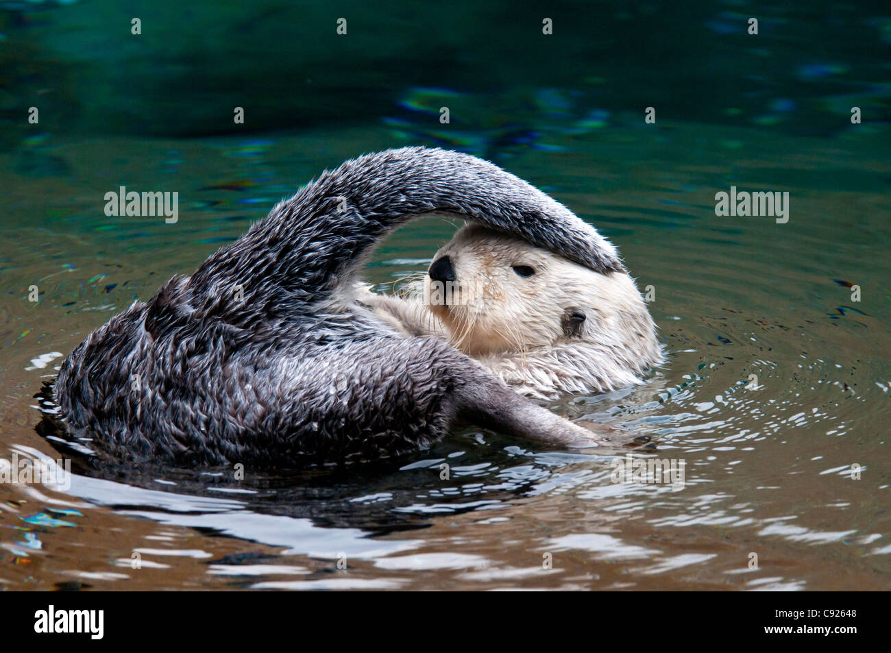 CAPTIVE Close up of a sea otter with its tail touching the top of its head at the Point Defiance Zoo, Tacoma, Washington - Stock Image