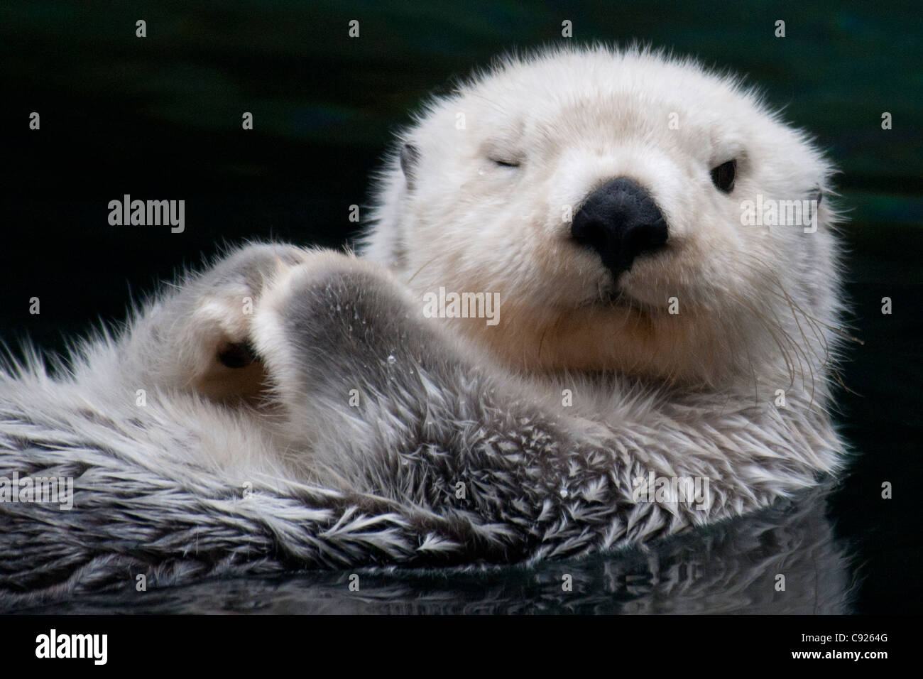 CAPTIVE Close up of a sea otter floating on its back, Point Defiance Zoo, Tacoma, Washington USA - Stock Image