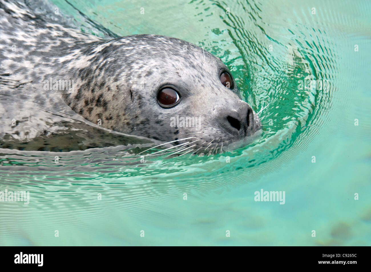 CAPTIVE Close up of a harbor seal swimming, Point Defiance Zoo, Tacoma, Washington, USA - Stock Image