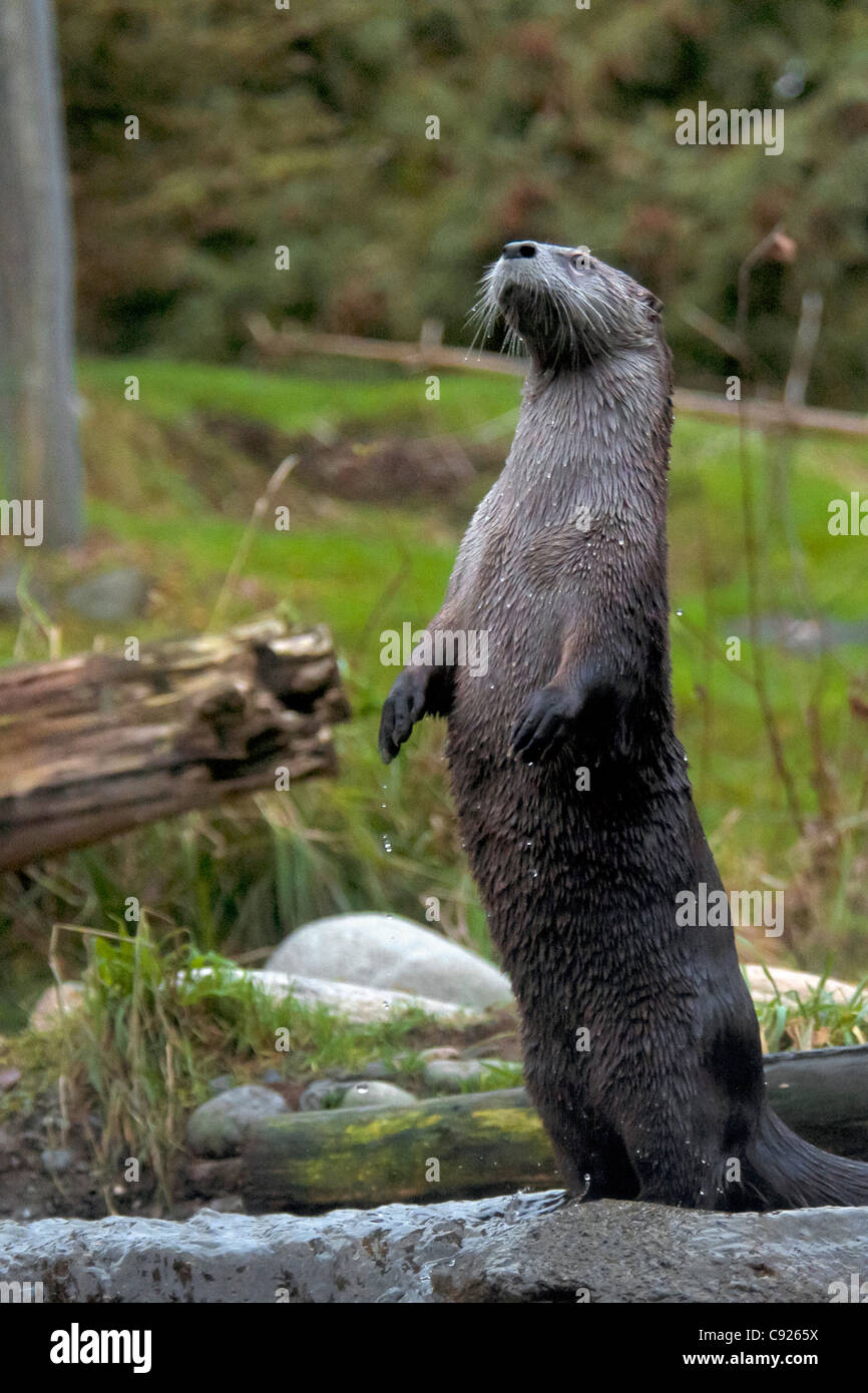 River Otter standing alert and upright in a river - Stock Image