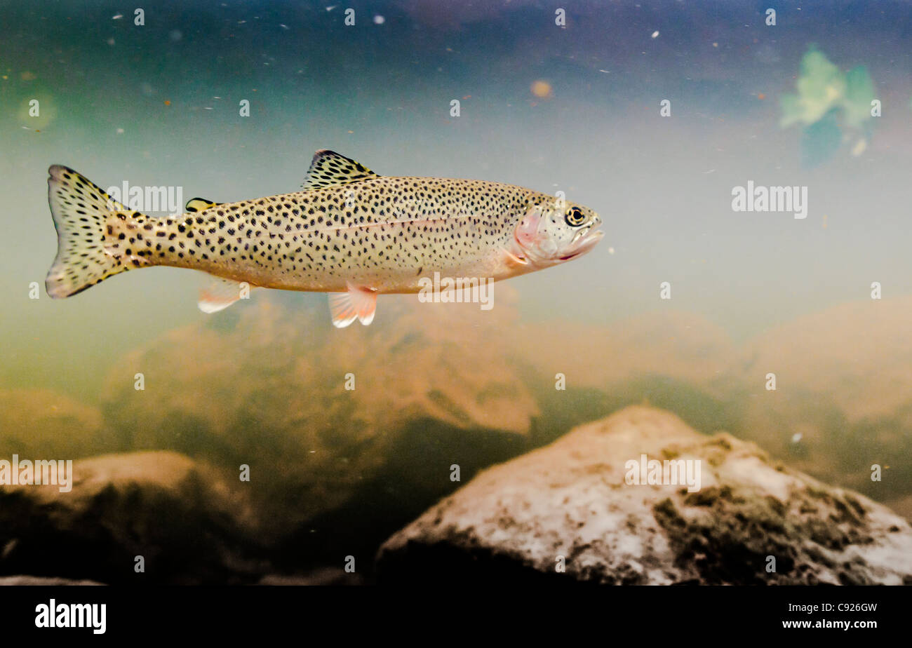 Underwater view of an adult coastal Cutthroat trout in the tannin stained water of 18-mile Creek, Copper River Delta, - Stock Image
