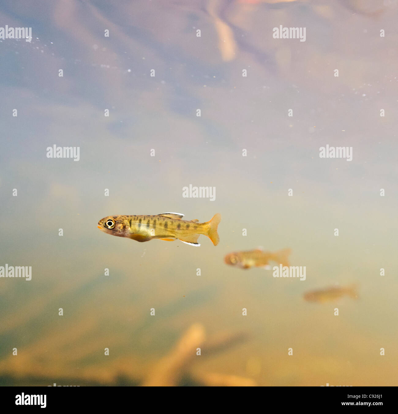 Underwater view of Coho salmon fry rearing in the tannin stained water of 18-mile Creek, Copper River Delta, Alaska - Stock Image