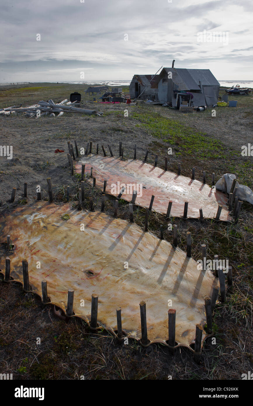 Bearded seal hides staked out to dry near family summer hunting camp, Shishmaref Island, Arctic Alaska, Summer - Stock Image